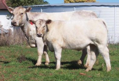 CHRISTY CSP V16 Christy cow embryos
