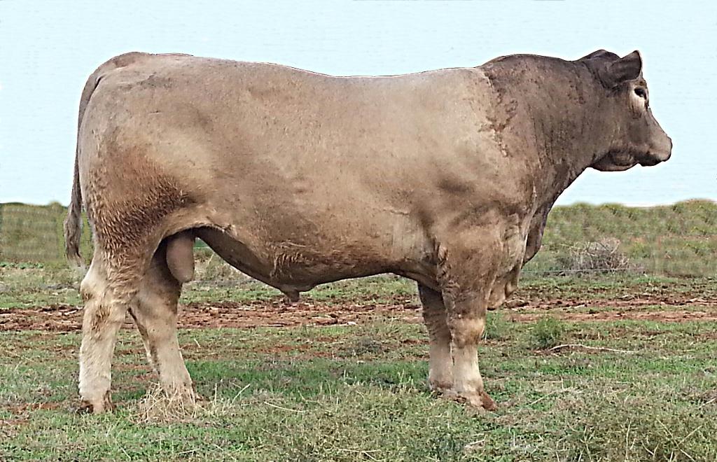 Murray Grey bull LEJ K37