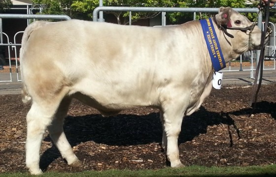 2015 Sydney Royal. Class winner. Wallawong and H. Birchall. Sire Wallawong Target
