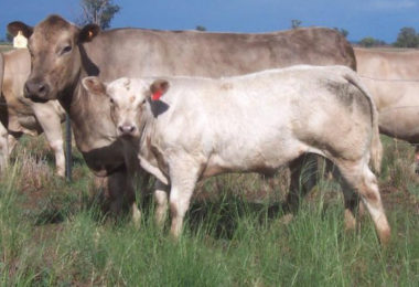Willalooka Caldora AM P149 with calf by Lindsay Starbright S117