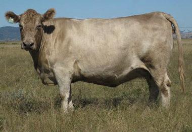 Springwell Emerald SPR U62 murray grey cow