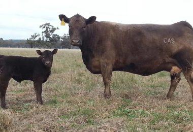 Bundaleer LOLITA JOS C45 murray grey heifer