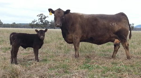 Bundaleer LOLITA JOS C45 murray grey heifer