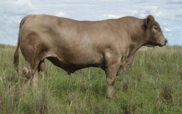 Wallawong Ripsnorter LEJ C46 stud bull