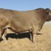 Wallawong Ultramodern LEJ F23 3yrold stud bull