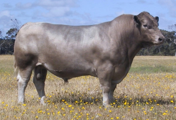Wallawong Upstart LEJ F11 murray grey bull semen