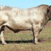 Murray Grey bul Wallawong Vinnie Roe LEJ G35 son of W. Ripsnorter