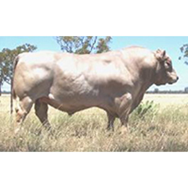 murray grey bull
